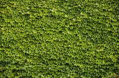 Green wall background of Boston ivy - stock photo