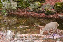 Sika deer drinking water in autumn - stock photo