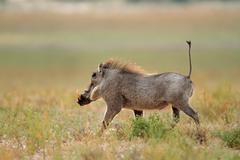 Warthog running Stock Photos