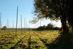 Empty hop garden after harvest Stock Photos