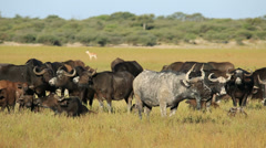 African buffaloes resting in grassland Stock Footage