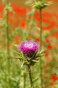 Violet thistle flower - stock photo