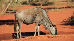 A blue wildebeest drinking at a waterhole Stock Footage