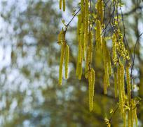 birch branches with catkins - stock photo