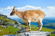 Stock Photo of Standing muflon at wildness