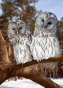Two Great Grey Owls in winter - stock photo