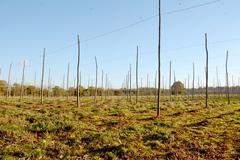Autumn view of an empty hop garden after harvest Stock Photos