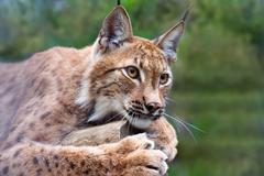 lynx  against wildness area - stock photo