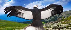 Andean condor - stock photo