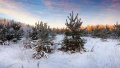Wintry landscape with pines Stock Photos
