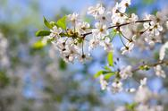 Cherry tree branch against  blur background Stock Photos