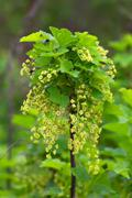 currant branch in spring - stock photo