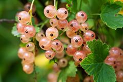 Branch of white currant - stock photo