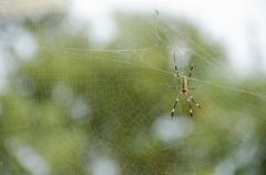 Spider, Nephila clavata - stock photo