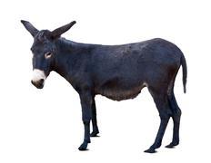 Black donkey or ass over white Stock Photos