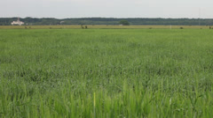 Green barley field crops in the morning wind, cereal grain, forest background Stock Footage