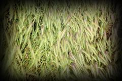 Textured grass inflorescences in summer, put down by the storm Stock Photos