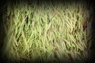 Stock Photo of textured grass inflorescences in summer, put down by the storm