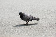 Stock Photo of juvenile feral pigeon walking alone on the park alley.