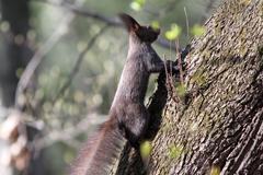 Wild european red squirrel ( sciurus vulgaris ) photographed in the forest Kuvituskuvat