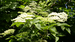 Stock Video Footage of Blooming elder tree