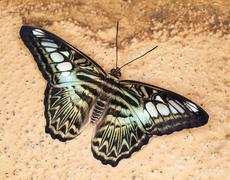 King Swallowtail Stock Photos
