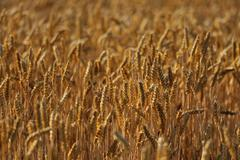 Field of riped wheat in golden sunlight Stock Photos