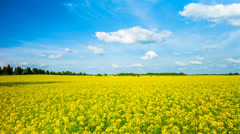 Blooming canola field, panoramic time-lapse Stock Footage