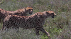 CHEETAH AFRICA WILDLIFE SAFARI STALKING - stock footage