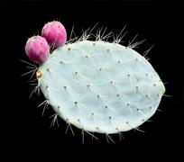 Prickly pears on leaf - stock photo