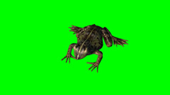 Frog idle - green screen Stock Footage