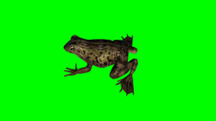 frog idle - green screen - stock footage