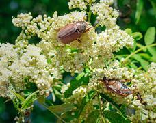 May-bugs eat mountain ash flowers. Stock Photos