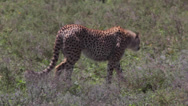 Stock Video Footage of CHEETAH AFRICA WILDLIFE SAFARI STALKING