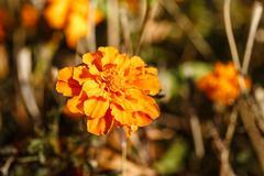 Autumn flower Stock Photos