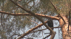Raven on a branch Stock Footage