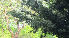 Yew tree branches illuminated by early morning sun move in wind Stock Footage