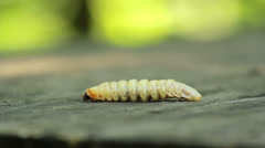 Bark beetle larva.Larvae bark beetle. Stock Footage