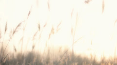Plume Reeds in Bright Sunlight - 25FPS PAL - stock footage