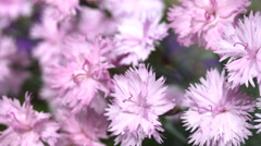 Pink flowers trembling in the wind Stock Footage