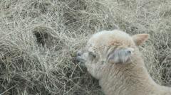 Alpaca eating hay, full HD. Stock Footage