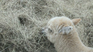 Stock Video Footage of Alpaca eating hay, full HD.