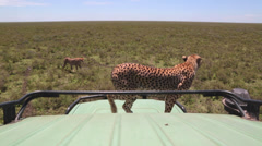 CHEETAH AFRICA WILDLIFE SAFARI TOURISTS Stock Footage