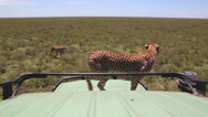 Stock Video Footage of CHEETAH AFRICA WILDLIFE SAFARI TOURISTS