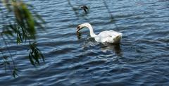 small bird attacking swan - stock photo