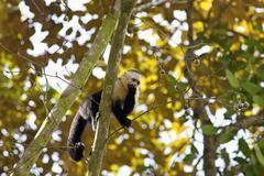 White faced Capuchin Stock Photos