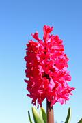 Hyacinth - stock photo