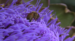 Honeybee on Artichoke, mouth parts cleaning - stock footage