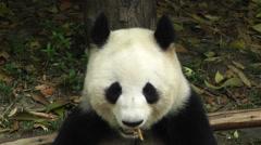 Panda in Chengdu Sichuan China 14 Stock Footage