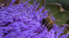 Honeybee on Artichoke. plunging into flower - stock footage